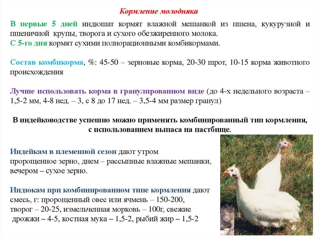 chem kormyat indjukov v domashnih usloviyah racion pitaniya i soderzhaniya