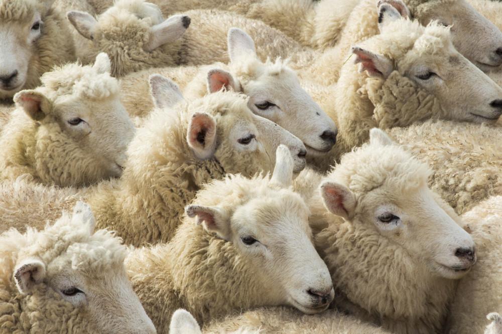 chem mogut zabolet ovcy