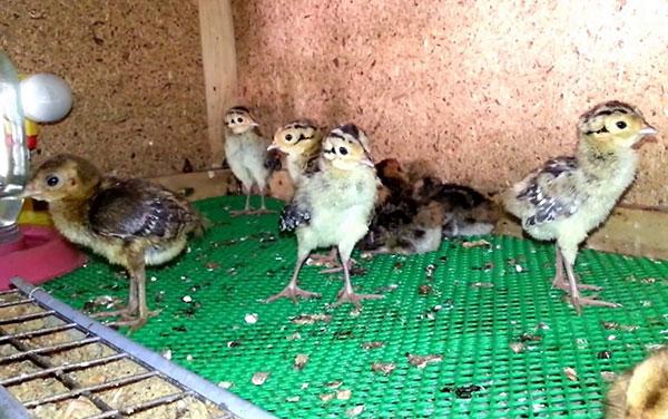 chem nuzhno kormit ptencov i vzroslyh fazanov v domashnih usloviyah