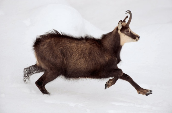 chrezvychajno plodovitye i neprihotlivye kozy alpijskie