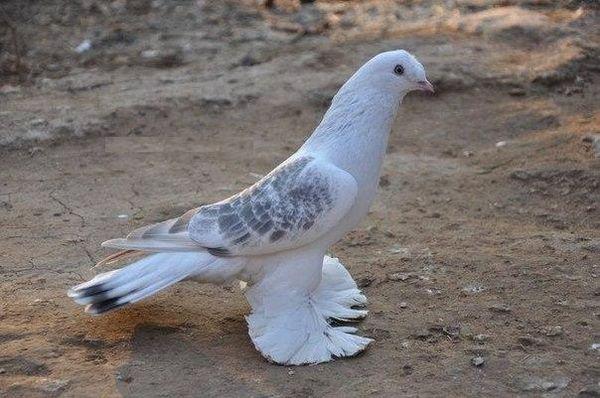 dostoinstva unikalnyh tureckih golubej takla