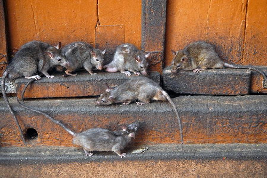 kak izbavitsya ot krys v svinarnike effektivnye sposoby