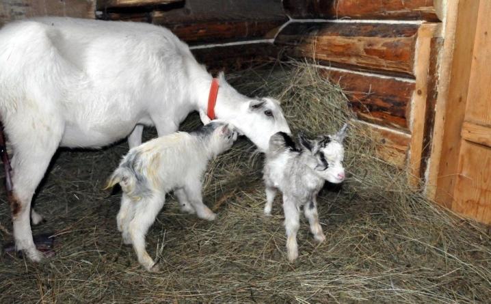 kak proishodit okot kozy i kak pomoch zhivotnomu