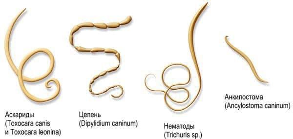 kak raspoznat i vylechit glisty u krolikov