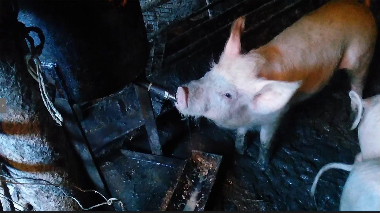 kak samostoyatelno sdelat poilku dlya svinej