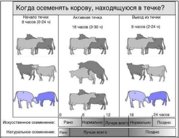 kak tochno opredelit chto korova prishla v ohotu dejstvennye metodiki