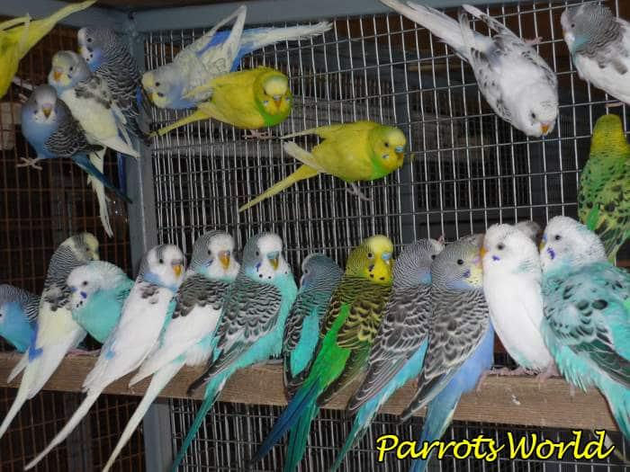 kak vybrat volnistogo popugaya podgotovka vybor pticy adaptaciya