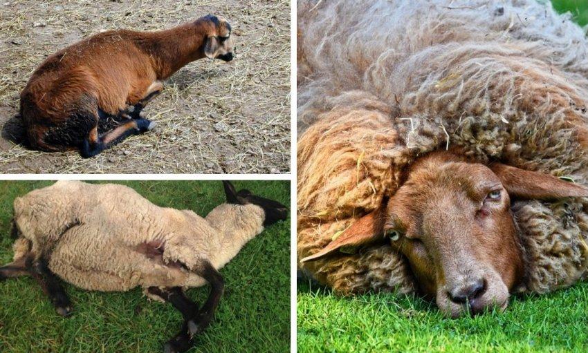 kak vylechit infekcionnoe zabolevanie ovec bradzot