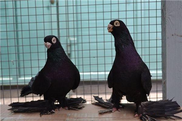 kakie byvajut vidy armavirskih golubej