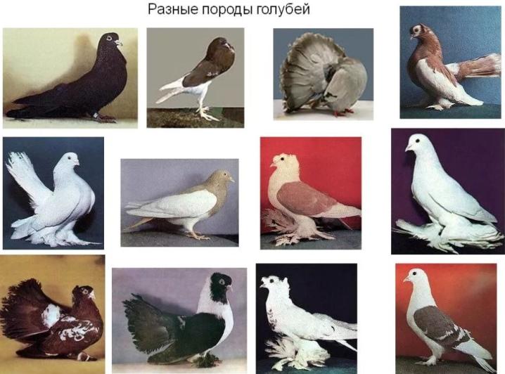 kakie byvajut vidy golubej i v chem ih otlichiya