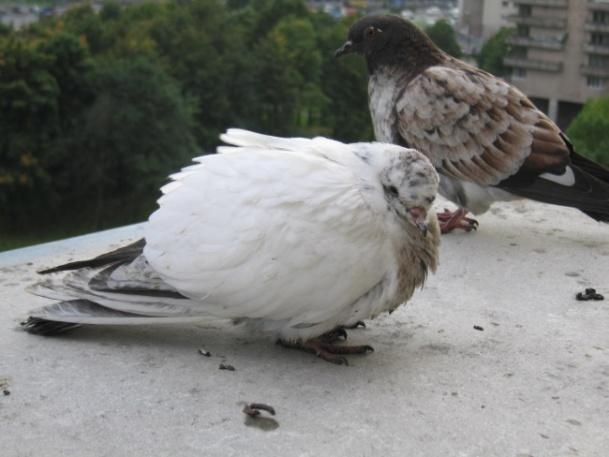 kakie opasnye dlya cheloveka bolezni perenosyat golubi