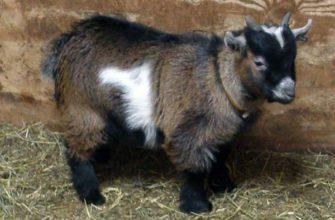 karlikovye kamerunskie kozy osobennosti i soderzhanie