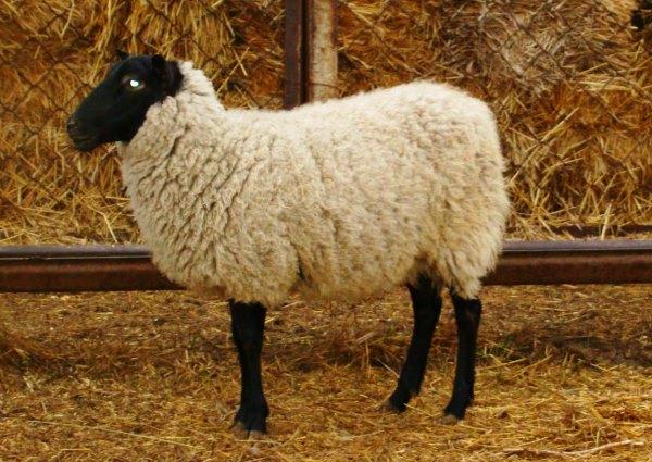 legenda otechestvennogo ovcevodstva romanovskaya poroda