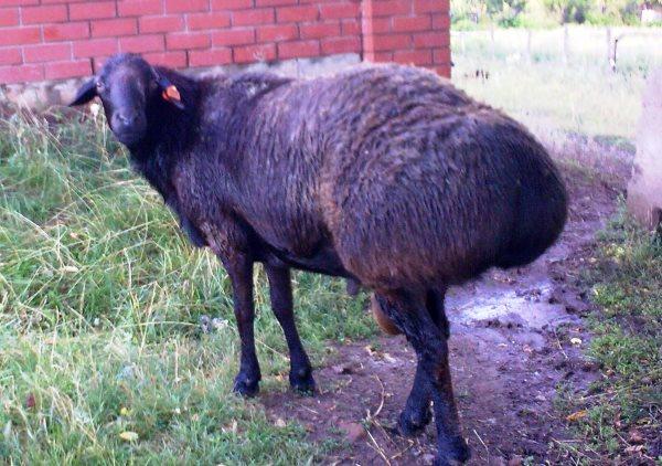 luchshie proizvoditeli myasa i sala kurdjuchnye ovcy