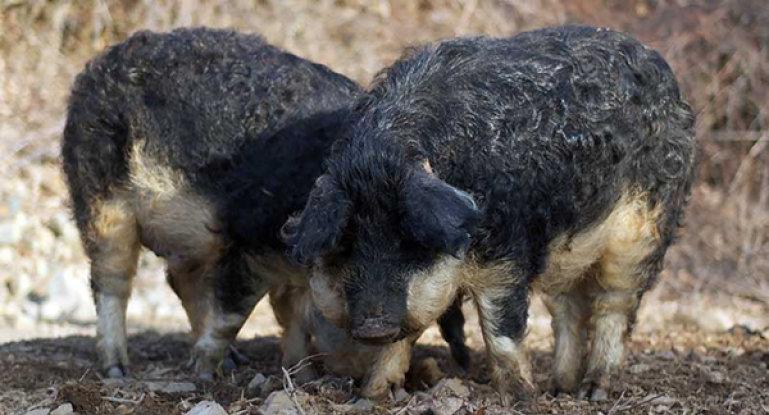 neobychnye svini s roskoshnoj sheveljuroj mangalica vengerskaya