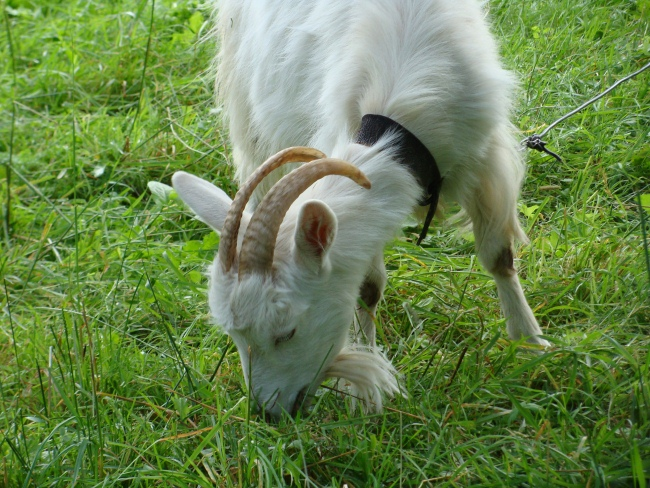 o kormlenii novorozhdennyh kozlyat i vzroslyh koz