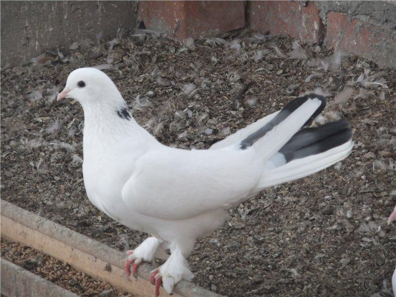 opisanie bakinskih golubej i ih raznovidnostej
