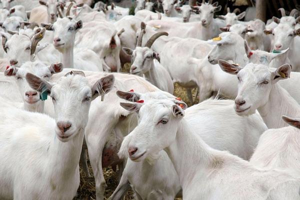 opisanie vyrashhivanie i uhod za zaanenskimi kozami