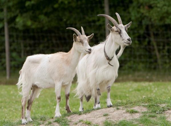 osnovnye pravila uhoda za kozami i kozlyatami