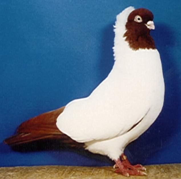 osobennosti porody krestovyh golubej monahov