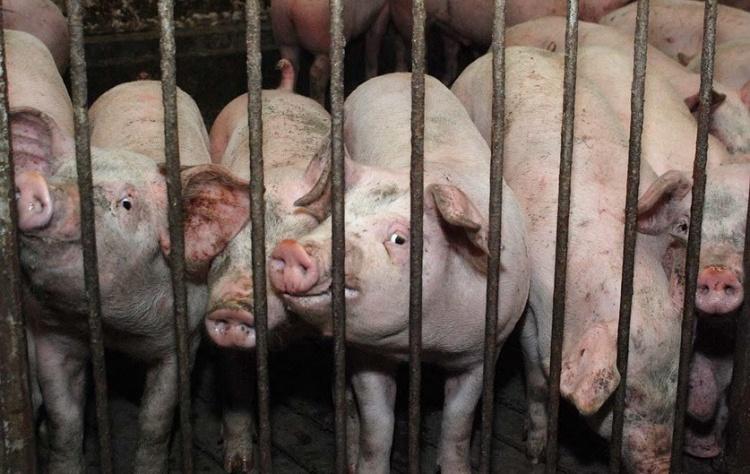 osobennosti soderzhaniya svinej v podsobnom hozyajstve
