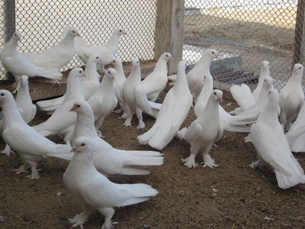 otlichitelnye cherty iranskih bojnyh golubej