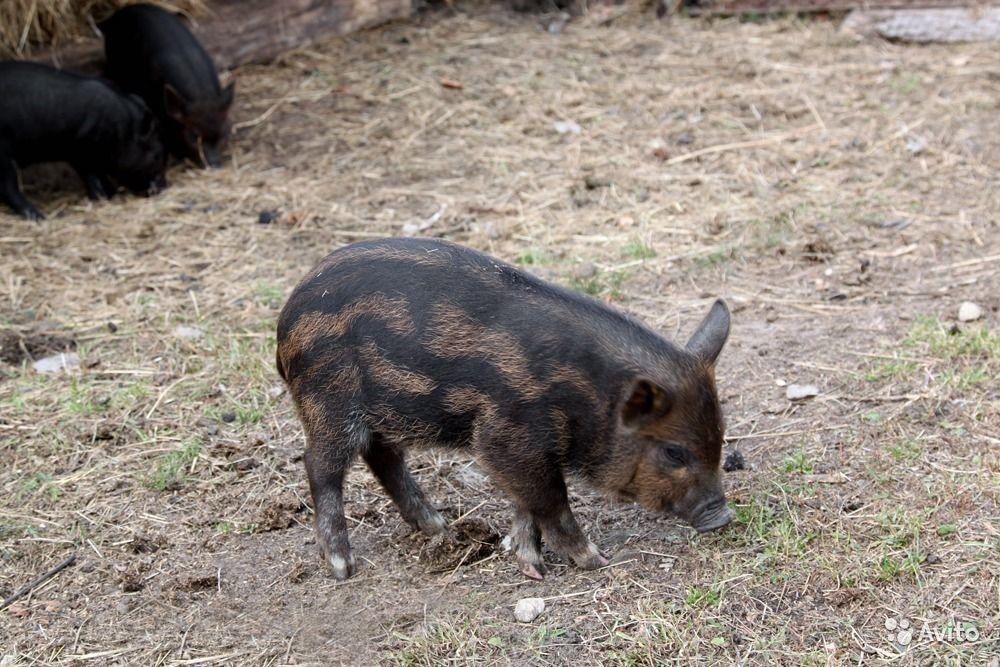 poludikaya poroda svinej karmal opisanie i preimushhestva