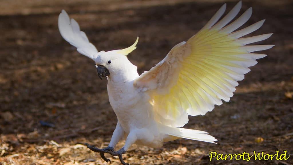 popugaj kakadu vidy areal obitaniya osobennosti