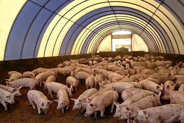 preimushhestva i osobennosti ispolzovaniya podstilki dlya svinej s bakteriyami