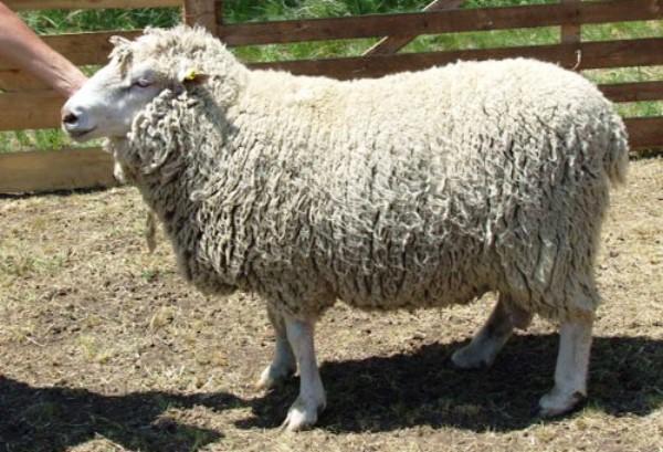produktivnaya myaso sherstnaya ovca prekos