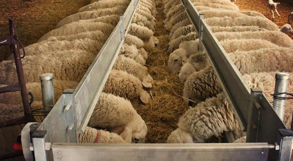 racion pitaniya ovec baranov i yagnyat