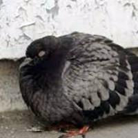 rasprostranennye bolezni u golubej i ih lechenie