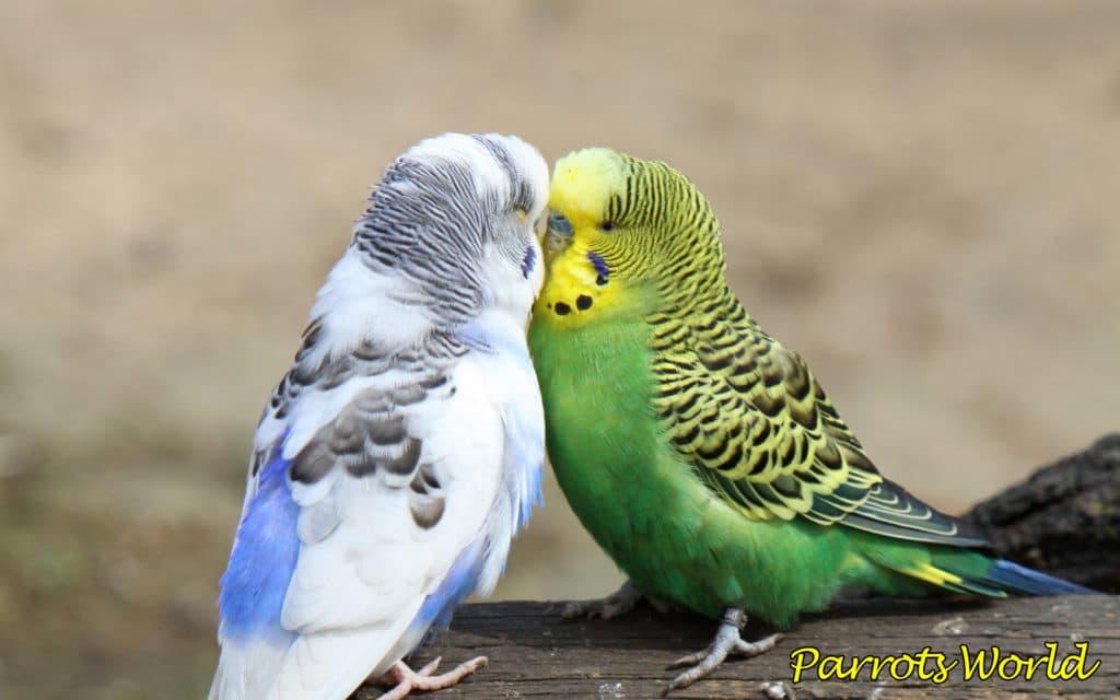 razmnozhenie volnistyh popugaev ot vybora pary do poyavleniya ptencov