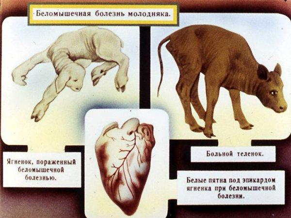 simptomy i lechenie belomyshechnoj bolezni telyat