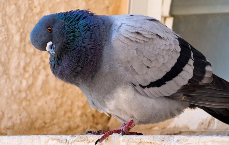 simptomy i osobennosti lecheniya salmonelleza u golubej