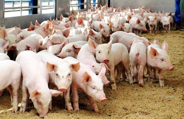 sovety po vyrashhivaniju svinej v kachestve biznesa