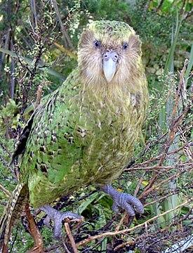 sovinyj popugaj kakapo opisanie razmnozhenie prodolzhitelnost zhizni