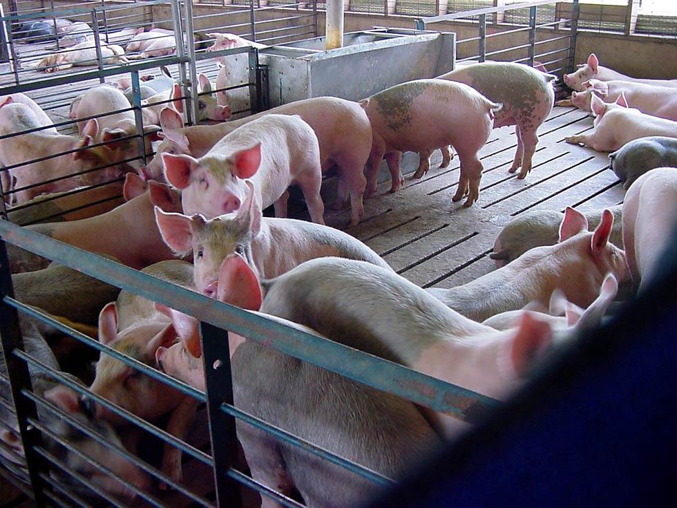 sposoby soderzhaniya svinej v domashnih hozyajstvah