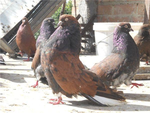 v chem unikalnost porody kirovogradskih golubej