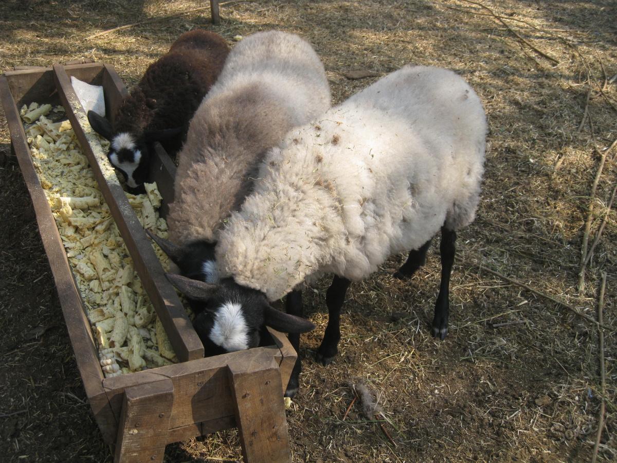 variacii kormushek dlya ovec