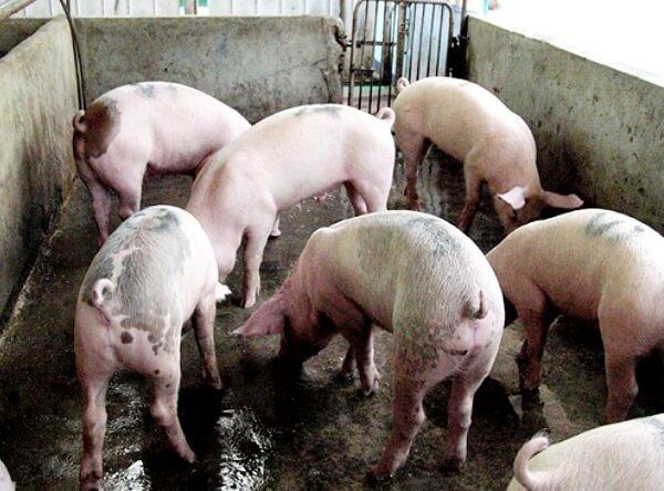 vse o domashnem razvedenii svinej