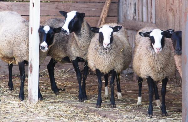 vse o gramotnom soderzhanii ovec