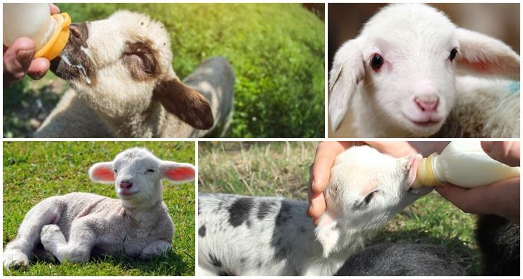 vykarmlivaem yagnenka bez ovcy